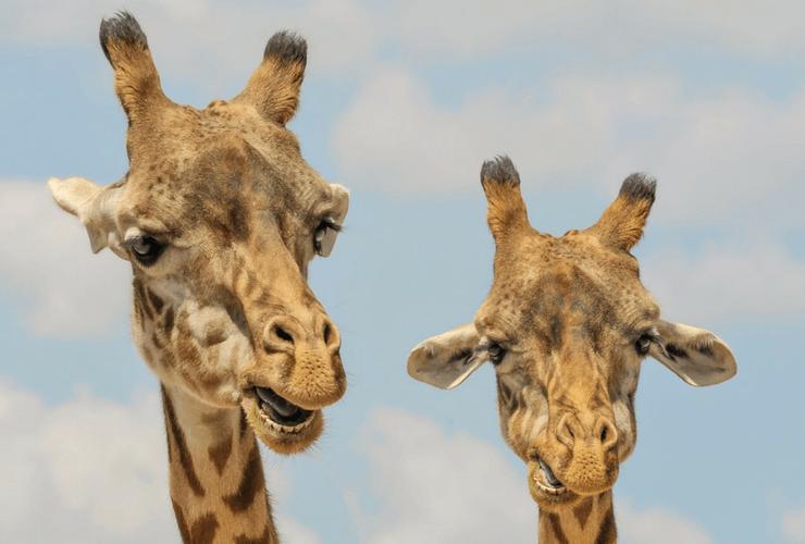 Giraffe, Tall Giraffe, Short Giraffe, blue sky
